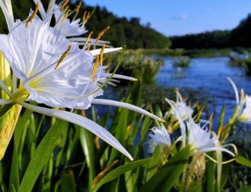How to see the Cahaba Lilies in bloom this year